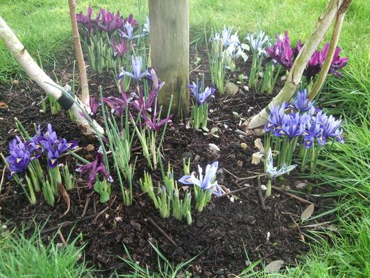 Iris reticulata bed (Iris reticulata)