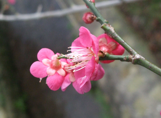 Prunus mume 'Ben-chidori' (Prunus mume)
