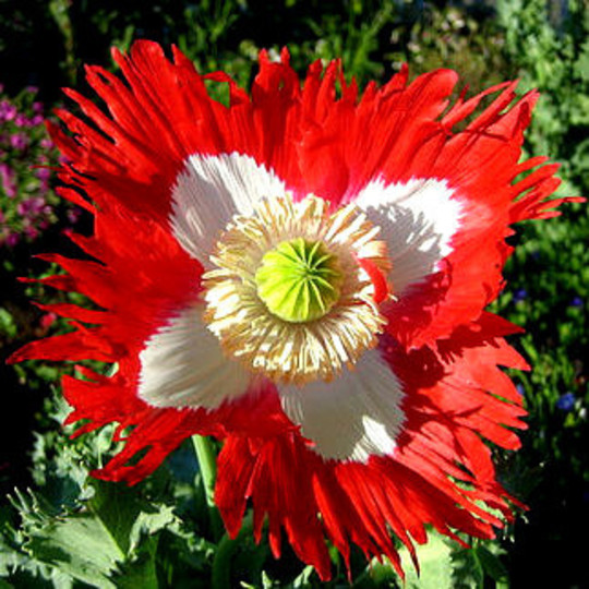 Poppy `Danish Flag`(papaver somniferum)
