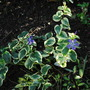 Vincas Major and Minor....... (Vinca major (Greater Periwinkle) variegata)