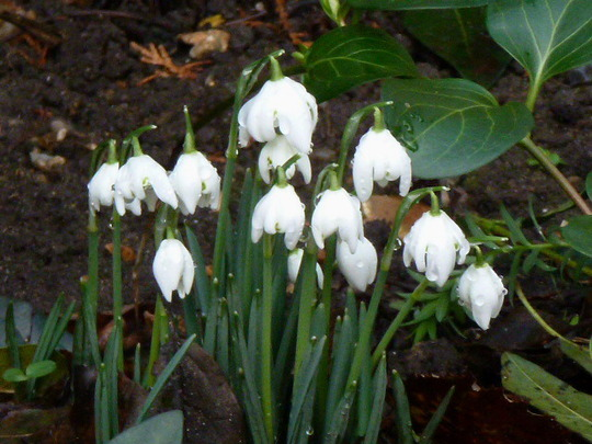 Galanthus  ' Double ' ...... Snowdrop