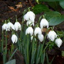 Galanthus_double_flower_