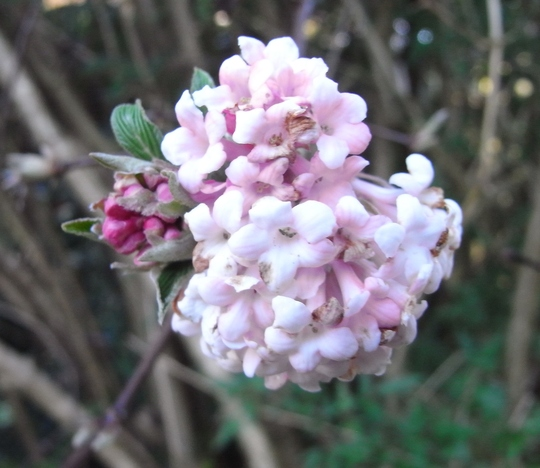 Viburnum x bodnantense 'Dawn' - 2012 (Viburnum x bodnantense 'Dawn')