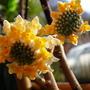 Edgeworthia chrysantha Frederic (Edgeworthia chrysanth frederic)