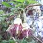 Clematis_napaulensis_2012