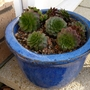 Sempervivums in blue pot (Sempervivum tectorum (Common Houseleek))
