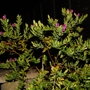 Polygala myrtifolia is still blooming! (Polygala Myrtifolia)