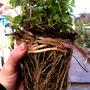 Mint roots