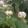 sparmannia africana flowers