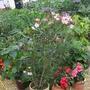 oleander (laurier) etc