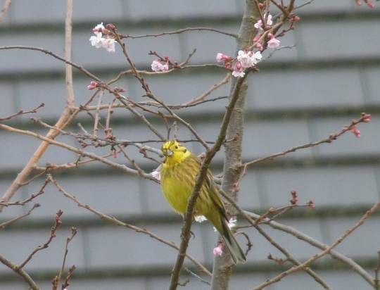 The Yellowhammer again...