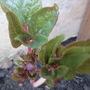 Paeonia for Bjs. (paeonia mlokosewitschii)