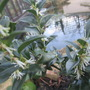 Christmas Box (Sarcococca confusa (Christmas box))