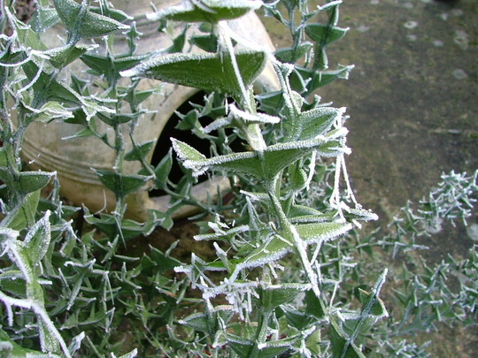 Colletia paradoxa (Colletia paradoxa)