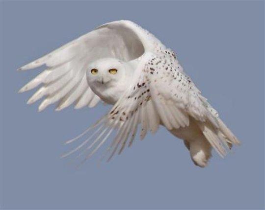 Snowy White Owl