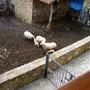 Sheep compound - January 2012