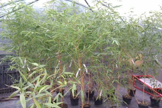 Phyllostachys bambusoides 'Castillonii'