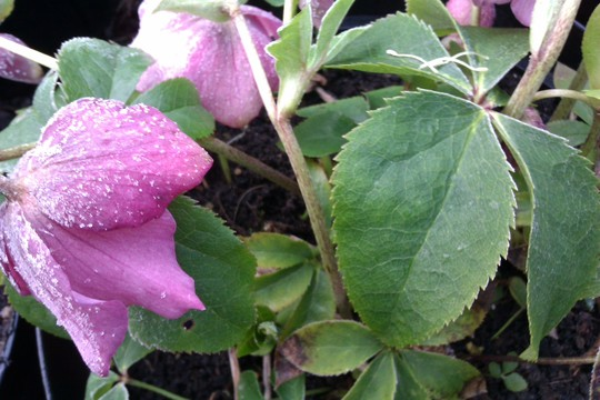 Frosty Hellebores