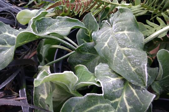 Arum italicum 'Weiss'