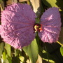 Dalechampia dioscoreifolia - Purple Wings Vine Flower (Dalechampia dioscoreifolia - Purple Wings Vine Flower)