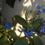 Eranthemum pulchellum - Blue Eranthemum, Blue Sage (Eranthemum pulchellum - Blue Eranthemum, Blue Sage)
