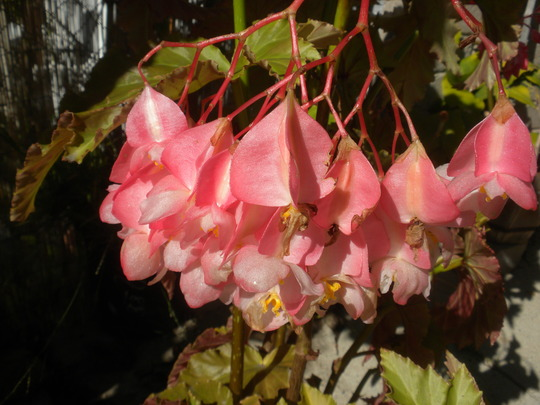 Angel Wing Begonia Blooming (Angel Wing Begonia Blooming)