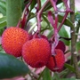 February 1st Treasures 2 - Arbutus Unedo Fruits