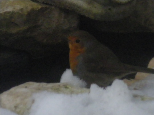 Our First Little Robin