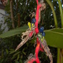 Heliconia schiedeana - Claw Flower with seeds (Heliconia schiedeana - Claw Flower with seeds)