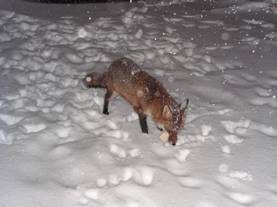 Fox's in the snow........