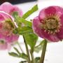 Helleborus : Harvington Pinks (Helleborus)