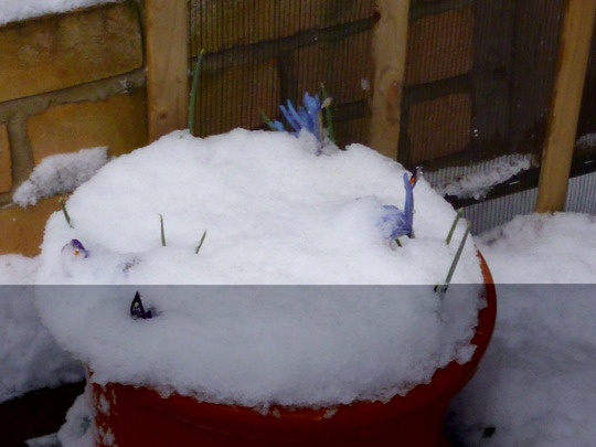 Irises peeping out of the snow