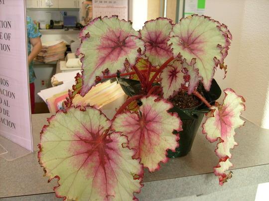 Rex Begonia (Correction)