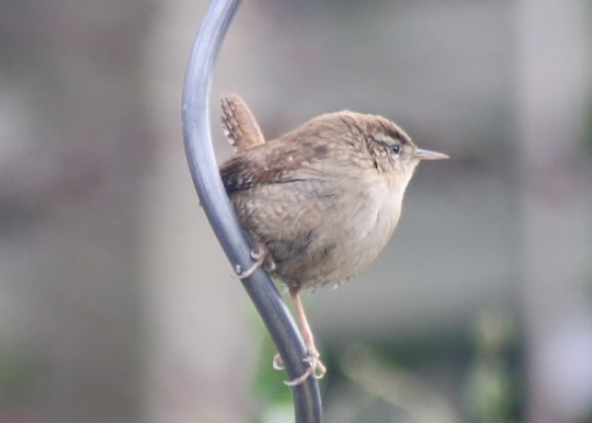 My favourite little bird