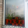 Amaryllis_red_with_white_stripes_3_outside_bedroom_window_05_02_2012