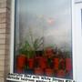 Amaryllis (Red with White Stripes #3) outside bedroom window 04-02-2012 (Amaryllis)