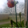Amaryllis_red_with_white_stripes_3_inside_bedroom_window_05_02_2012