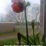 Amaryllis (Red with White Stripes #3) inside bedroom window 05-02-2012 (Amaryllis)