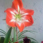 Amaryllis (Red with white stripes #3) on living room table 05-02-2012 (Amaryllis)