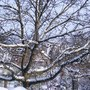 Walnut tree in snow (Juglans regia)