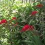 mid summer glory (Crocosmia x crocosmiiflora (Montbretia))