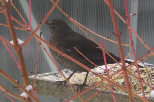 blach bird and cornus (Cornus sanguinea (Common dogwood))