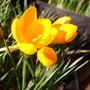 sunny crocus (Crocus ancyrensis (Crocus))