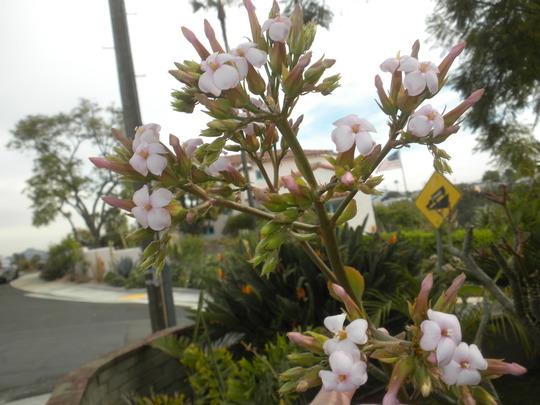 Kalanchoe species with pastel pink flowers (Kalanchoe species)