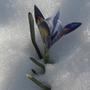 MINIATURE IRIS IN THE SNOW