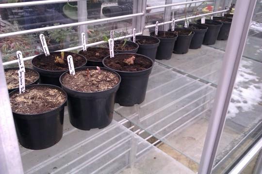 Hardening off Dye Plants