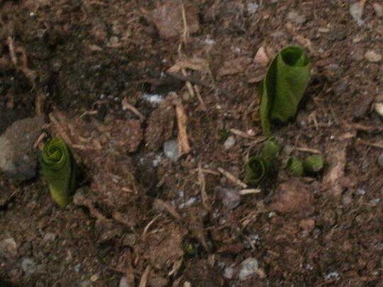 trillium shoots (Trillium sessile (Toadshade))