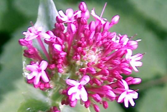 Flowers of red valerian (Centranthus ruber (Red valerian))