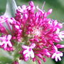 Flowers of red valerian (Centranthus ruber (Red valerian))