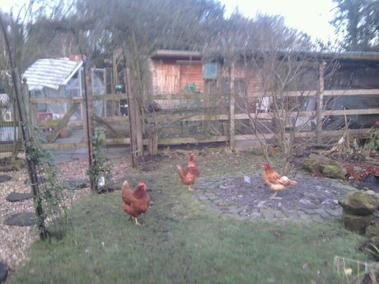 hens happy ........... garden depressing lol